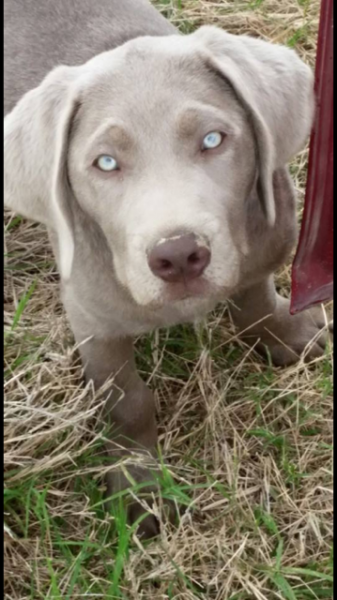 silver lab retriever puppies for sale