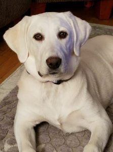 White Labrador Retriever Dog