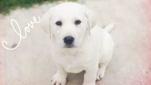 Available White Lab Puppies