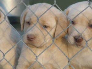 champagne lab puppies for sale silver and charcoal kennels
