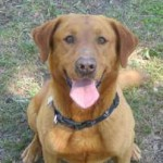 Red Labrador Retrievers
