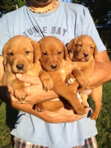 red labrador male puppies