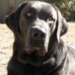 Charcoal Labrador Retrievers for Sale