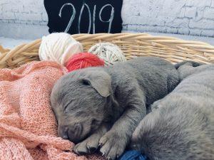 Silver Lab Pups