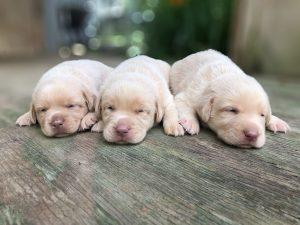 3 Champagne Labrador Retriever Puppies