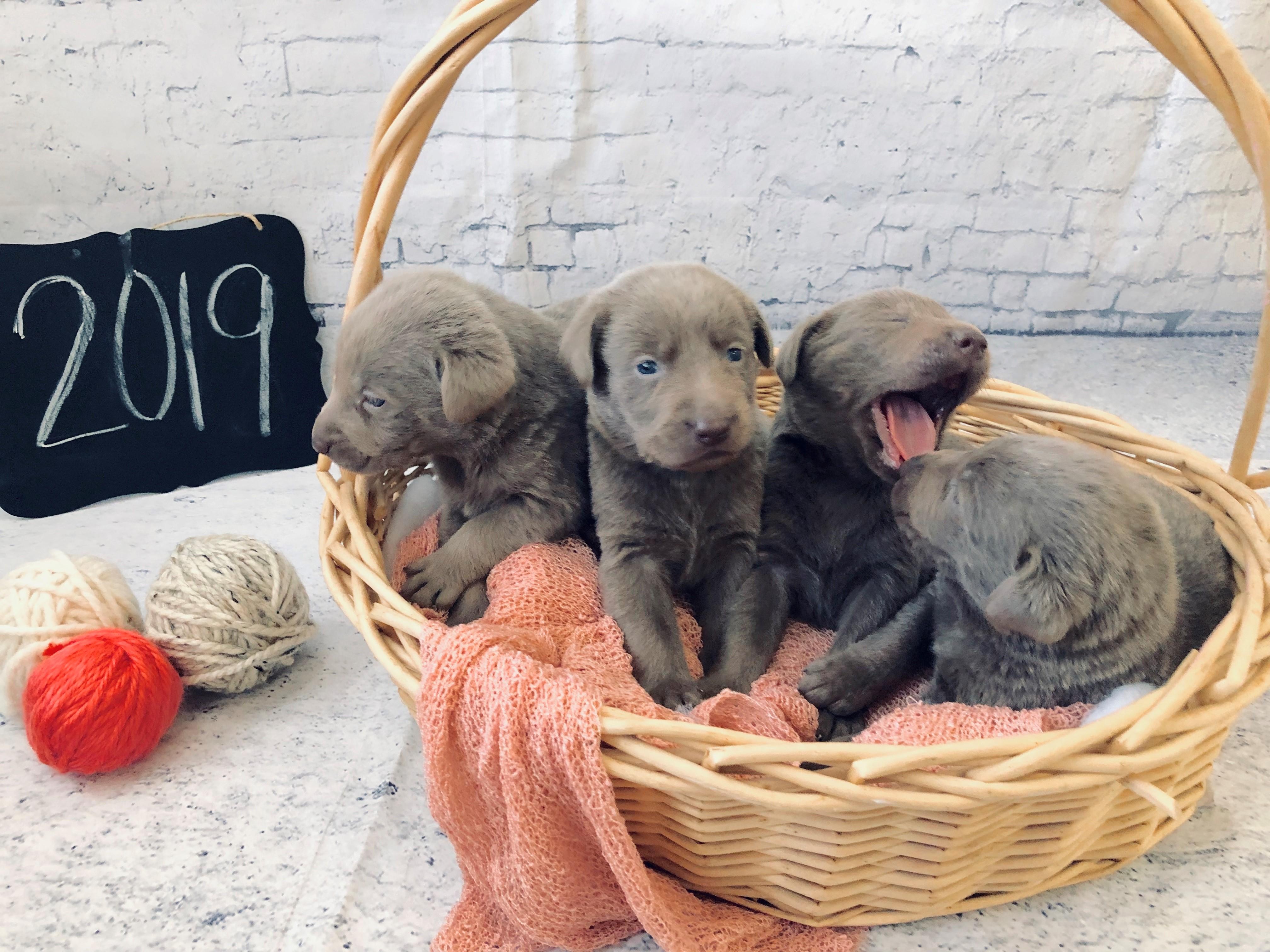 4 labrador puppies