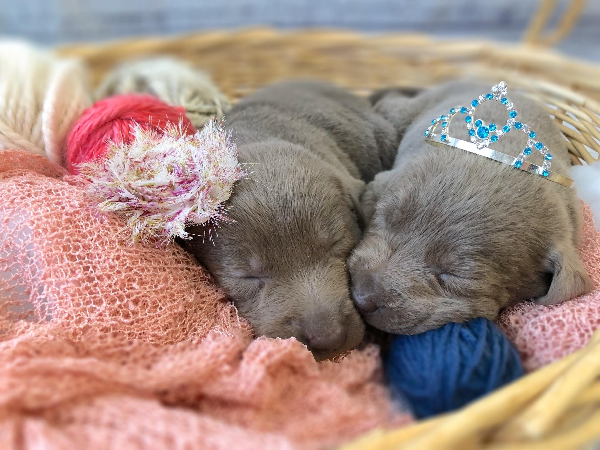 labrador-puppies-sleeping