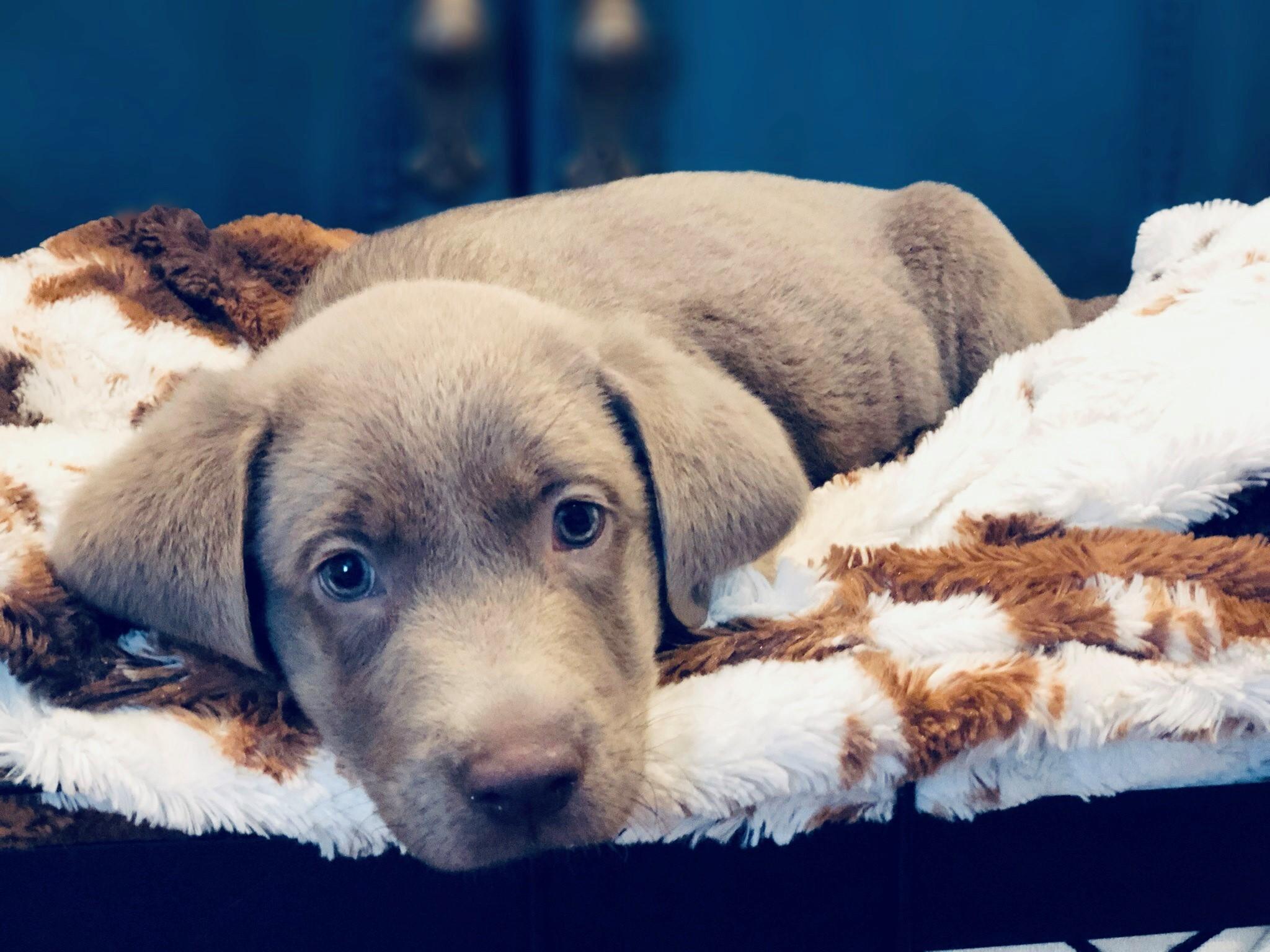 labrador-puppy-laying-down