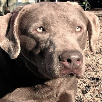View Our Available Silver Lab Puppies