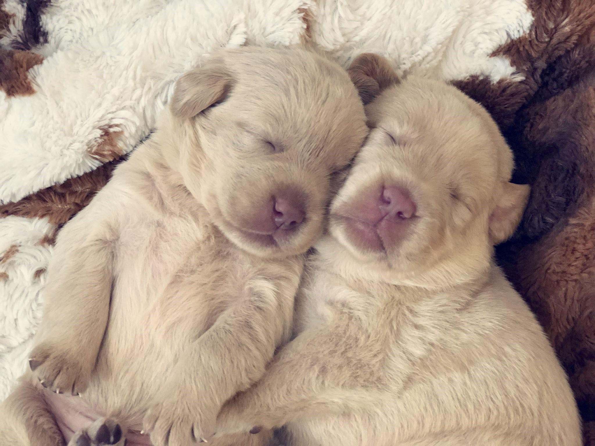 sleeping-labrador-pups