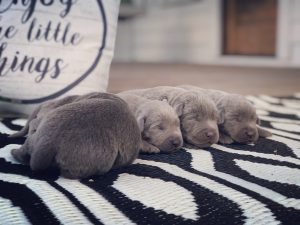 Silver Lab puppies on a rug.